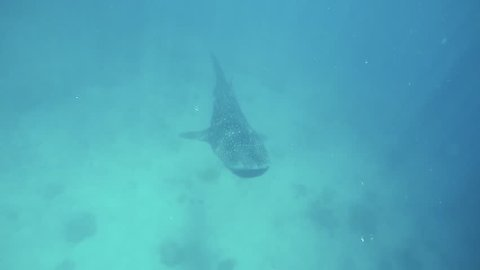 Whaleshark and fishes swimming in a deep blue sea