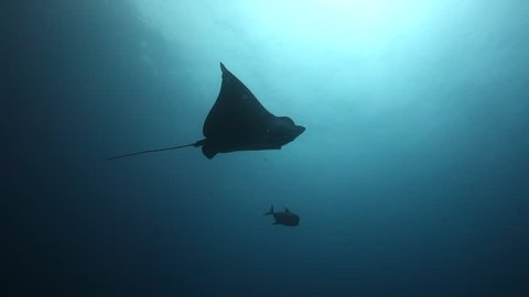 Eagle ray swims overhead then in to shoal of fish with hammerheads beyond at Wolf Island in the Galapagos.