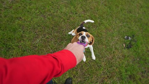 Man playing with dog, tug rope toy and turn around, beagle grasp other side and fly about. Slow motion POV shot, funny pet shake head, long ears flap in air