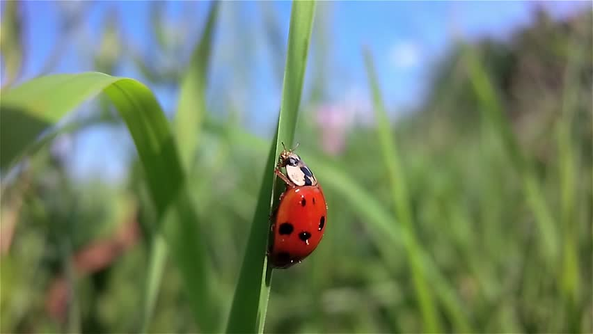 Ladybug rests on a grass swaying in the wind in slow motion