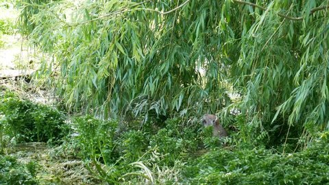 Muskrat eats branches of willow. Muskrat on the shore of the lake.