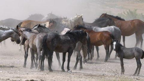 Dusty wind blows through wild horse herd in dry desert in western Utah.