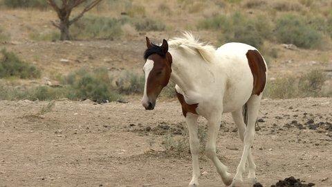 Wild horse walking across desert landscape to watering hole in the Utah desert.