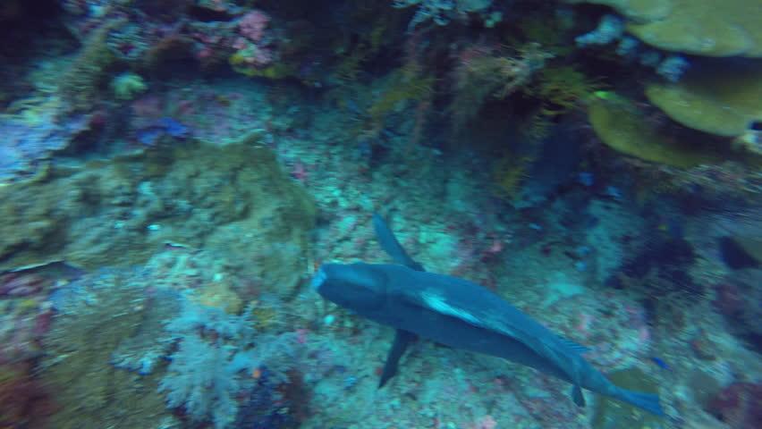 Bumphead wrasse feeding on the reef in Raja Ampat.   Shutterstock HD Video #1013845229