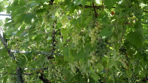 Close Up of a Grape Vine with a Bunch of Green Grapes in Pec Kosovo