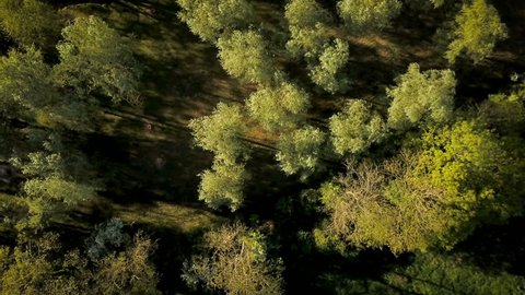 English woodland forest; aerial drone rise reveal. Aerial drone video footage looking down and rising to reveal the extended canopy of a green forest in the heart of the English countryside at dusk.