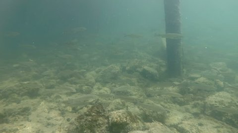 Underwater video from nice river habitat. Swimming close up freshwater fishes Chub