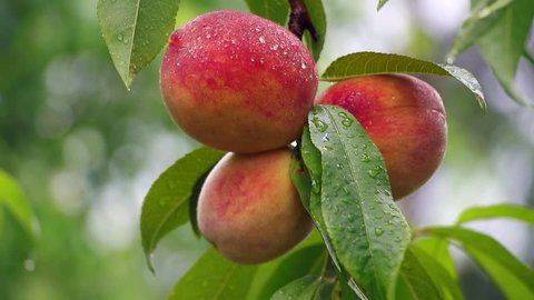 Peaches in rain, ripe fruit in organic farm, peaches before harvest, double slow motion
