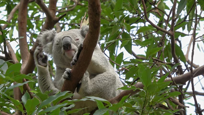 Cute Koala bear sitting on branch and scratching itself