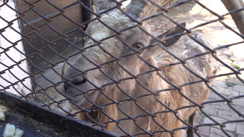 Kherson region, Ukraine - 3d of June 2018: 4K Tour to the Askania-Nova reserve - Visitors feed a Siberian ibex with bread