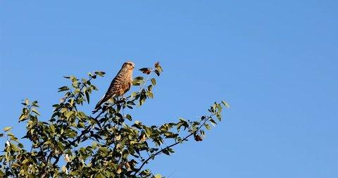Greater kestrel (Falco rupicoloides) perched in a tree, Etosha, Namibia safari wildlife