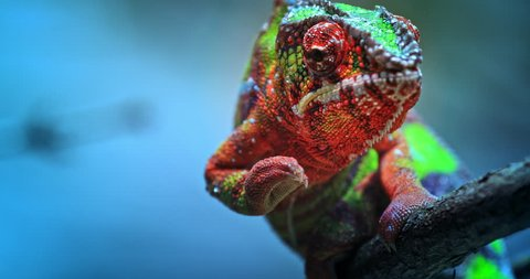 Chameleon exotic reptile and beautiful tropical lizard with vivid and colorful skin crawling slowly on tree branch toward camera