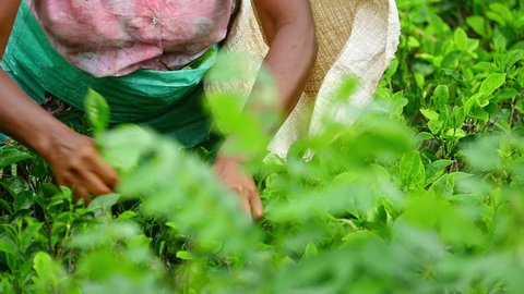 Local ethnic woman picking tea leaves on plantation in Sri Lanka