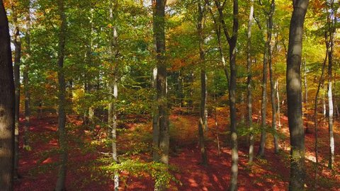 Flight through an autumn beech forest, Freudenburg, Rhineland-Palatinate, Germany, Europe