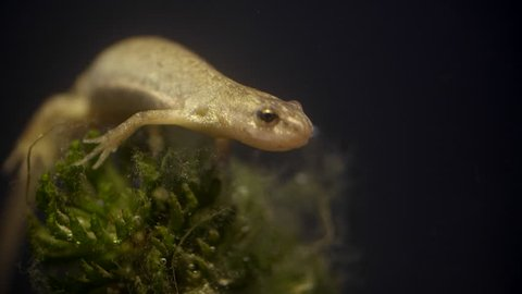 Salamander female sitting and swimming away, Close up
