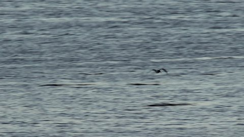 An oystercatcher flying and landing in a lake