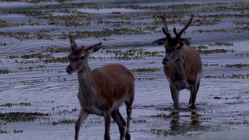 A deer and hints walking in a lake