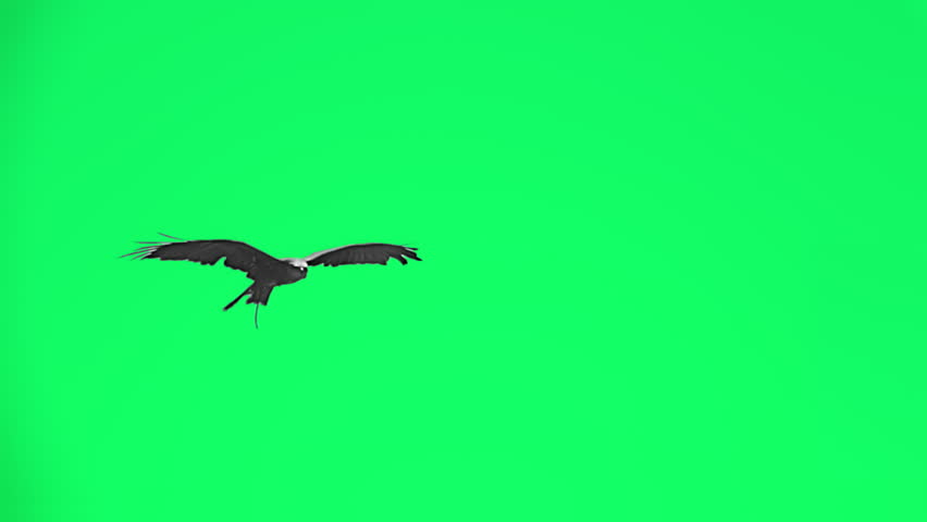 Falconry eagle flying in slow motion - separated on green screen. | Shutterstock HD Video #1014158699