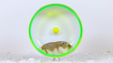 A brown hamster runs on a green wheel, stops to look in camera and continues to run.