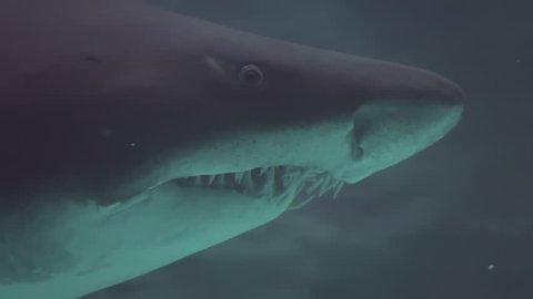 Bull shark at the Aquarium