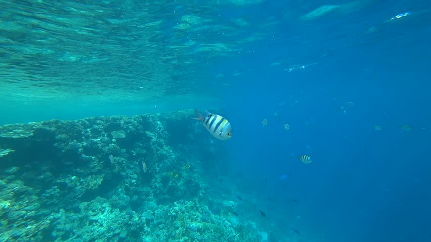 School of Indo-Pacific sergeant swims over coral reef, Red sea, Egypt | Shutterstock HD Video #1014250919