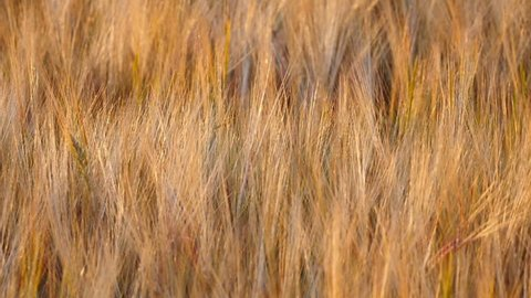 Barley field, Suffolk, England - July 2018. Barley field being blown in the evening breeze, Suffolk, England, United Kingdom