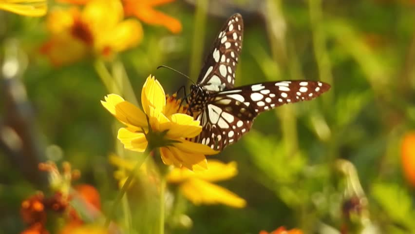 Butterfly taking food on Yellow Meadow Buttercup flowers in garden with green background leafs