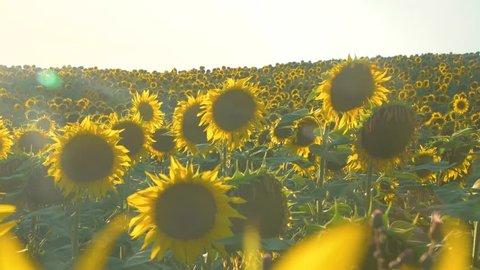 Sunflower lantern in July video 4k
