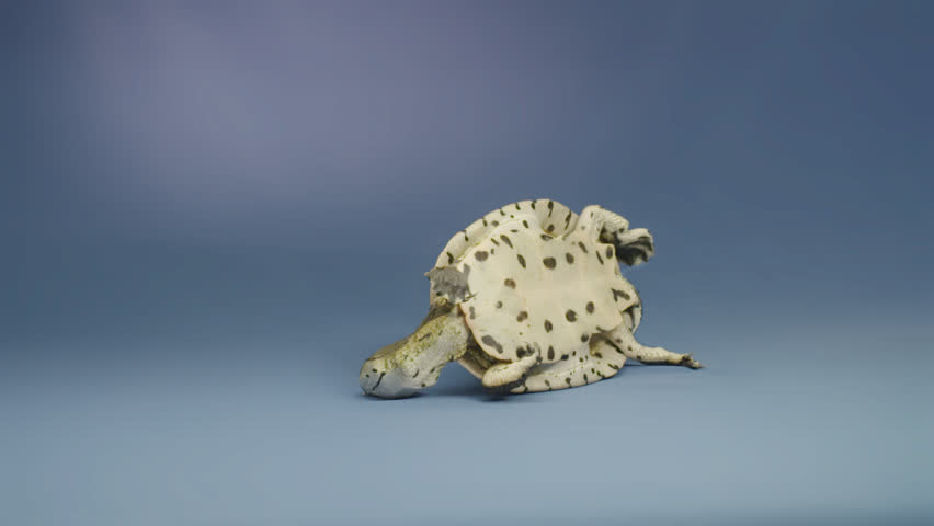 TORTUGA se da vuelta en slow motion resiliencia gira turn over turtle