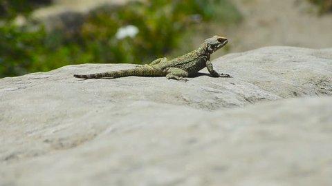 Portrait of a brown lizard on a rock, Georgia. Joe-Joe
