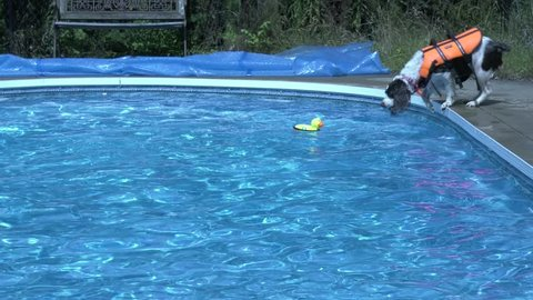 A Springer Spaniel jumps into a pool chasing a rubber ducky toy, slightly distant view, 4K.