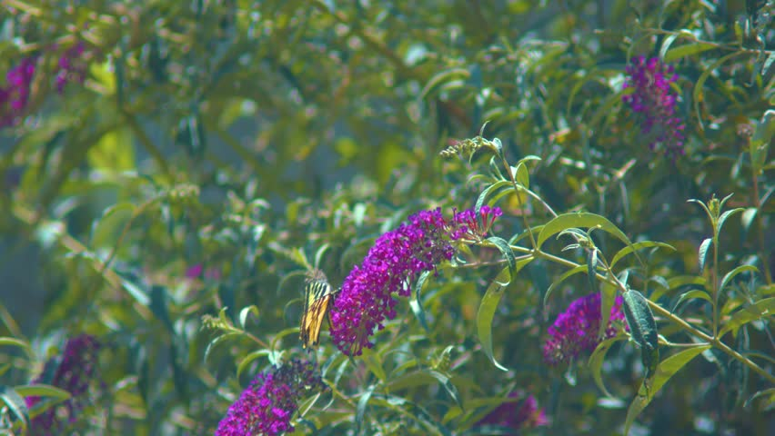 Two-tailed swallow on a butterfly bush. Shot on a Blackmagic Ursa Mini Pro 4.6k with a Canon FD 70-210mm f/4.