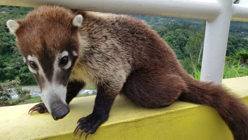 Close up of Nasua is a genus within the family Procyonidae, whose best-known members are raccoons. The two species within the genus are generally referred to as coatis.