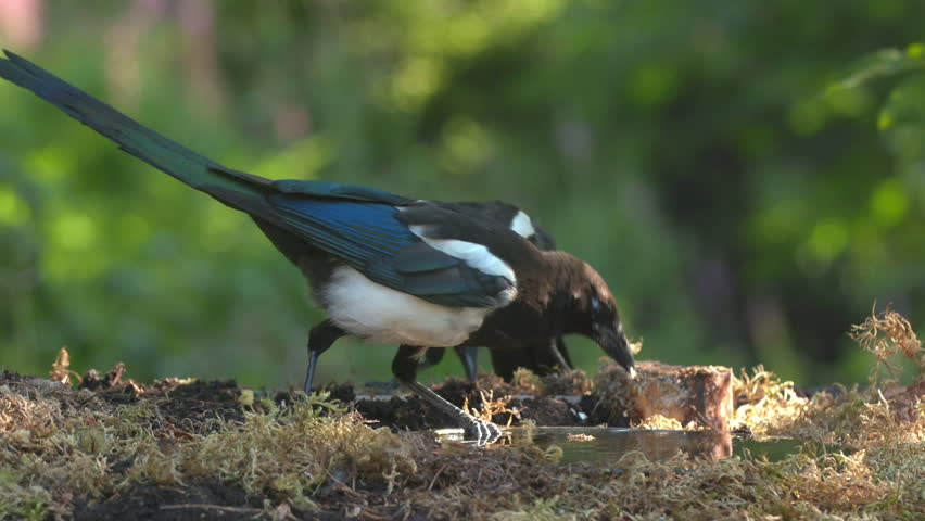 magpie crow bird animal feeding pick up seed raise head watching