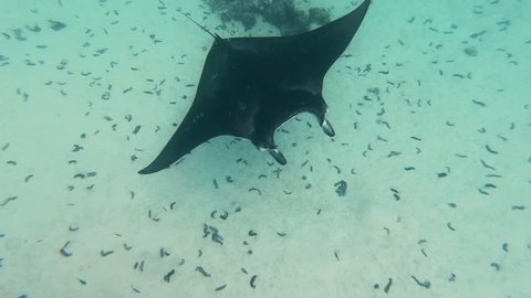 manta ray in Maupiti, french polynesia