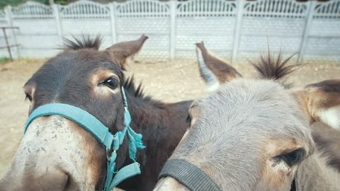 Two donkeys make funny faces and looking at camera on stable