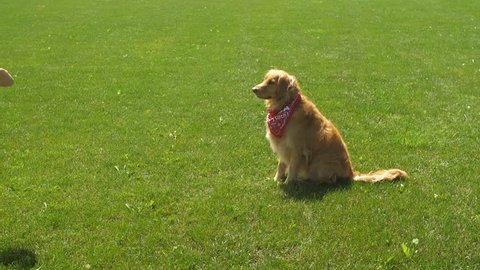 A golden retriever dog fails to catch a disc in slow motion and it hits her in the face.