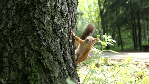 Squirrel Sitting On A Tree Bark In Summer Forest