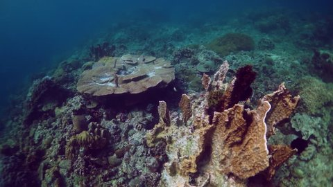 Move around outcrop of hard coral on reef at Anilao in the Philippines.