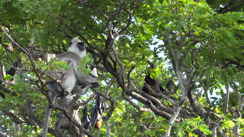 A tufted gray langur shares a tree with Indian flying fox in Tissamaharama, Sri Lanka