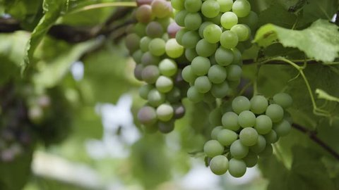 grapes on maturity stage. Sunlight breaks through a green vineyard, a vine. Grape harvest