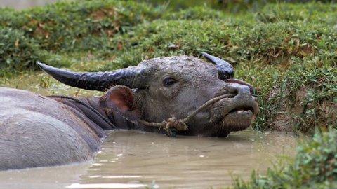 Water buffalo bathing in mud pond. A fine specimen of water buffalo in Southeast Asia.