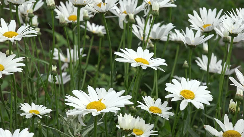 Marguerite in the nature