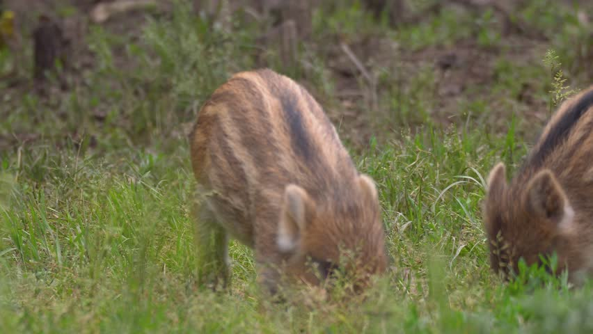 Piglets of wild hogs feeding in the grass | Shutterstock HD Video #1014634529