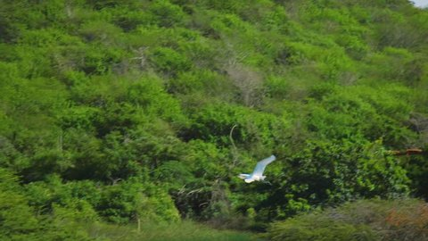 In this footage you can see a stork flying over green jungle forest and water in Willemstad, Curacao.