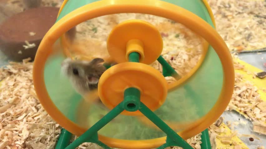 Cute little Hamster playing and running on the green-yellow wheel pets animal in the mini housing.