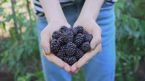 Delicious ripe blackberries in human hand freshly collected