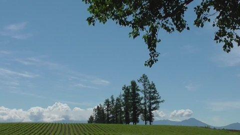 Larch and potato field