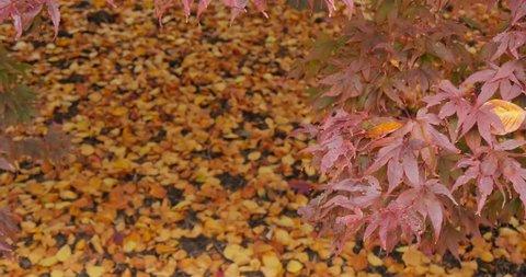 Autumn Leaves, Grasser, Cumbria, England, United Kingdom, Europe