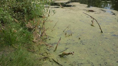 Duckweed on water.